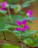 LitttleSalmonberryFlower041715.jpg