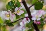 AppleBlossoms041915.jpg