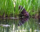 BeaverBarnabySloughEntering051915.jpg 20x24