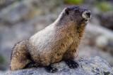MarmotSaukMt061915.jpg