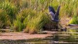 HeronLiftBarnabySl070715.jpg