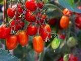 TomatoesBlueHeronFarm072815_4.jpg