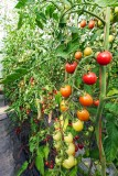 TomatoesBlueHeronFarm080215_1.jpg