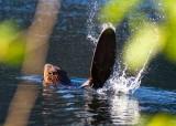 BeaverSlap080415.jpg
