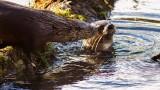 OtterBarnabySlough1_022216.jpg
