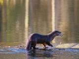 OtterBarnabySlough_032916.jpg