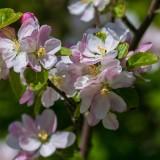 AppleBlossoms041816.jpg
