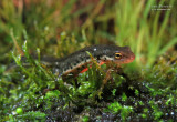 Bosca's Newt