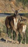 Spanish Deers