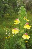 Bellardia trixago