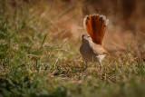 Rufous-tailed Scrub Robin
