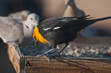 Yellow head blackbird