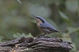 chestnut-vented_nuthatch