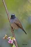 rufous-gorgetted_flycatcher