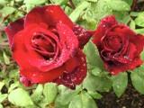 Kings Garden, rose Hans Christian Andersen