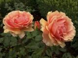 Kings Garden, hybrid tea rose Fellowship