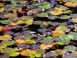 Texture of Japan, lotus leaves on water