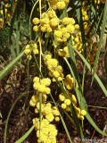 Golden Wattle detail
