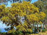 Australia's Golden Wattle