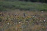 White-tailed Ptarmigan - hen