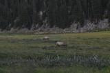 Elk - Cervus elaphus