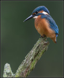 Kingfisher / IJsvogel