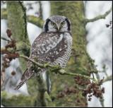Northern Hawk-Owl / Sperweruil