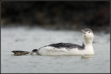 Red-throated Diver / Roodkeelduiker