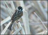 Reed Bunting / Rietgors