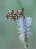 Knapweed fritillary/ Knoopkruidparelmoervlinder / Melitaea phoebe