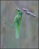 Grasshopper / Sprinkhaan