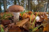 Honey Fungus / Honingzwam / Armillaria mellea