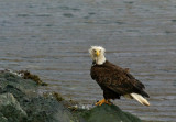 Aleutian Bald Eagle