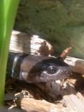 Salamandre à points bleus, St-Onésime-d'Ixworth