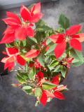 Rouges Poinsettia, St-Onésime-d'Ixworth