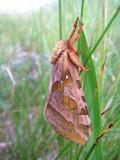 Papillon, Eastmain