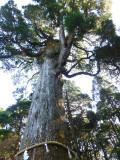 kirishima shrine sugi tree P1010802.jpg
