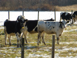 hokkaido cows P1010900.jpg