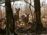 sika deer P1020017.jpg