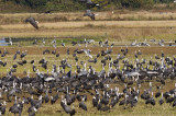 Hooded and White-necked Cranes