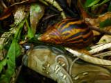 african giant snail 2.jpg