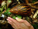african giant snail.jpg