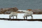 Spitsbergen reindeer