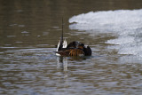 Long-tailed Duck preening