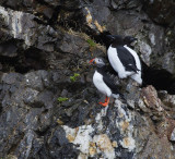 Atlantic Puffin with Thick-billed Murres