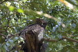 Powerful Owl at the Royal Botanical Garden, Sydney Australia