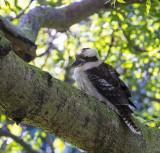 Kookaburra, Sydney Australia