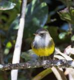 Yellow-bellied Flyrobin, New Caledonia