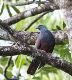 Goliath Imperial Pigeon, New Caledonia