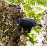 New Caledonian Crow with its tool,  New Caledonia